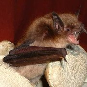 Little Brown Bat 2